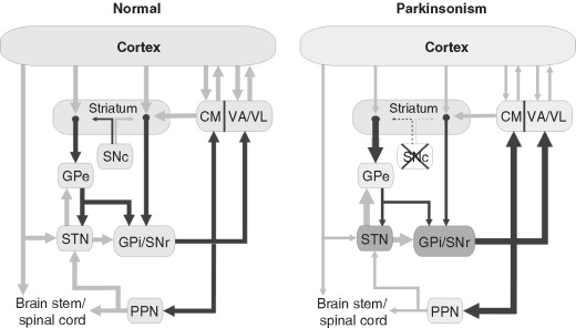 Anatomy and physiology of the basal ganglia: relevance to ...