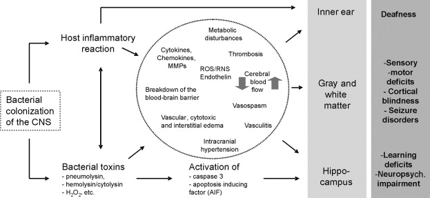Pathogenesis and pathophysiology of bacterial cns infections this hypothetical cascade highlights the complexity of the pathogenesis and pathophysiology of bacterial central nervous system infections ccuart Image collections