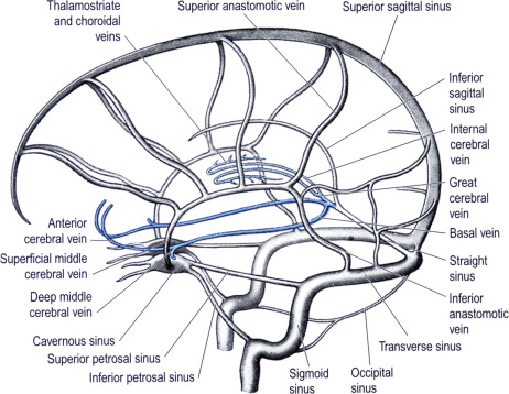 Inferior Cerebral Veins An Overview Sciencedirect Topics