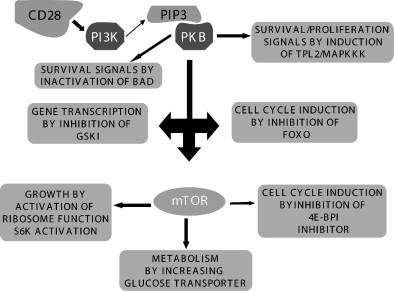 Cell Biology of T Cell Activation and Differentiation