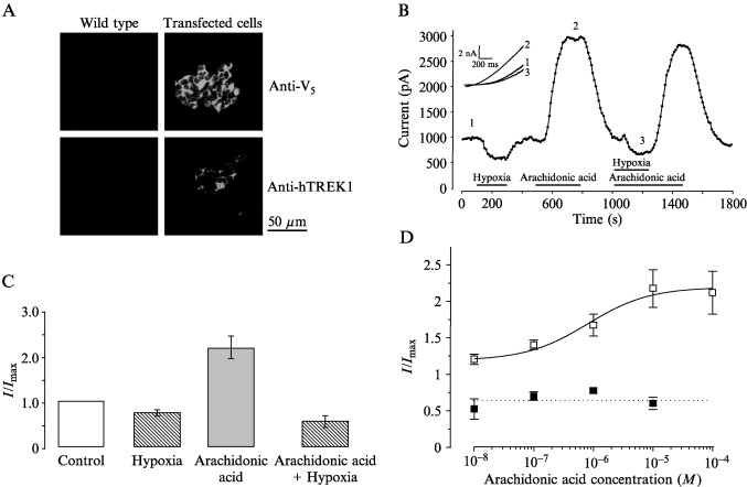 Oxygen Sensing By Human Recombinant K Channels Assessment Of The