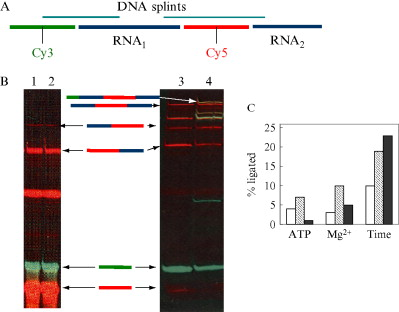 Methods Of Site Specific Labeling Of Rna With Fluorescent Dyes