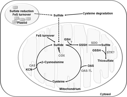 cysteine an overview sciencedirect topics