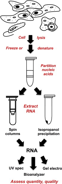Rna Isolation An Overview Sciencedirect Topics