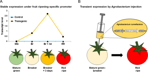 Tomato Fruitsa Platform For Metabolic Engineering Of Terpenes