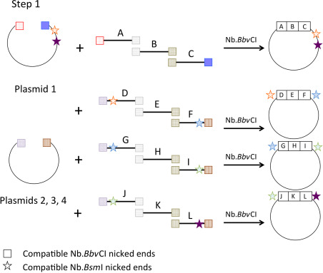 Nicking Enzyme - an overview | ScienceDirect Topics