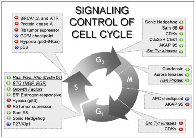 Generalized cell cycle diagram electrical drawing wiring diagram how the living is in the world an inquiry into the informational rh sciencedirect com the structure of generalized cell not labeled animal cell diagram and ccuart Image collections