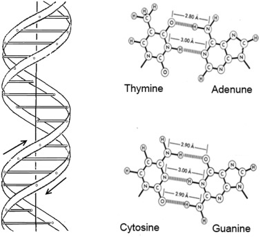 Forces Maintaining The Dna Double Helix And Its Complexes With