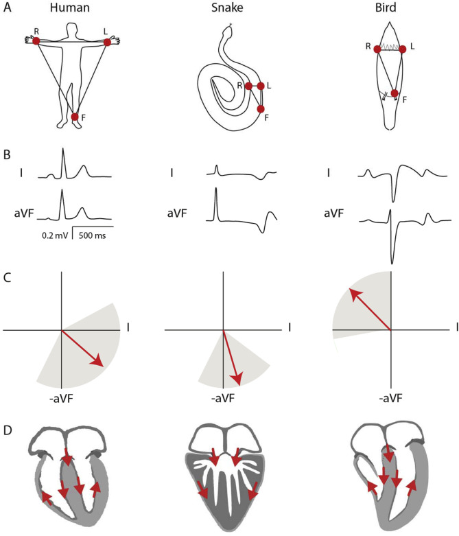 The electrocardiogram of vertebrates: Evolutionary changes