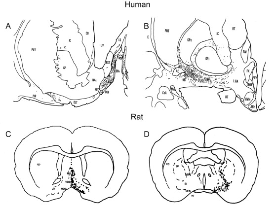 Phylogenetic And Ontogenetic Aspects Of The Basal Forebrain