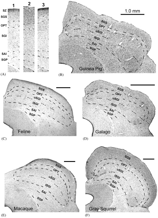 The mammalian superior colliculus: laminar structure and connections ...