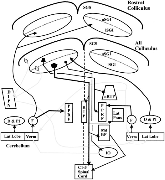 The Mammalian Superior Colliculus Laminar Structure And Connections