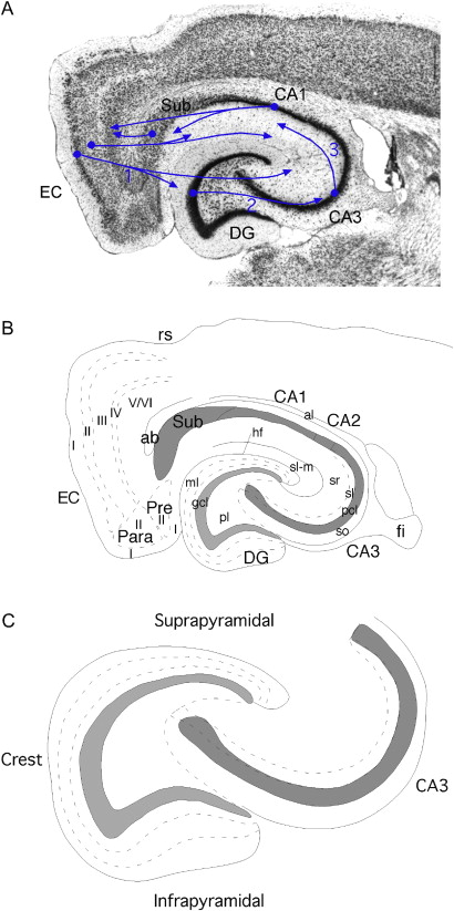 The Dentate Gyrus Fundamental Neuroanatomical Organization Dentate