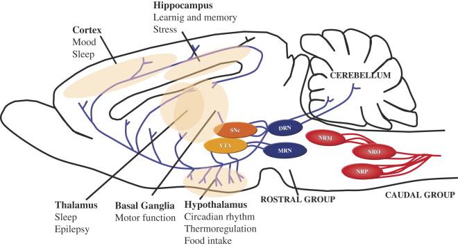 Serotonin–dopamine interaction: electrophysiological