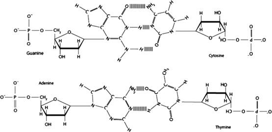 Dna Molecular Diagram Trusted Wiring Diagram