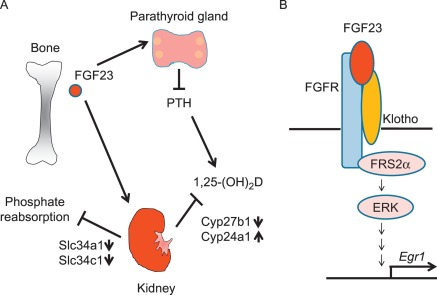 the fgf23 klotho regulatory network and its roles in human disorders