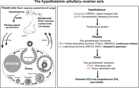 Ovary Cycle - an overview | ScienceDirect Topics