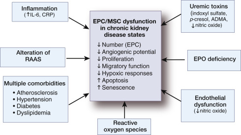 Challenges And Opportunities For Stem Cell Therapy In Patients With Chronic Kidney Disease Sciencedirect