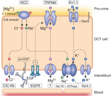 New molecular players facilitating Mg2+ reabsorption in the distal ...