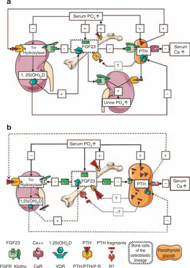 does the downregulation of the fgf23 signaling pathway in