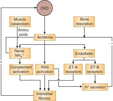 Bicarbonate Therapy For Prevention Of Chronic Kidney Disease Progression Sciencedirect