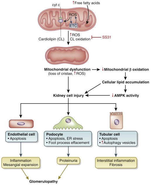 Mitochondrial Dysfunction In Obesity Related Kidney Disease