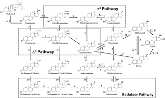 Regulation of local steroidogenesis in the in and in ... on