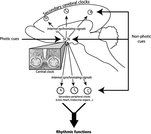 Structural Plasticity Of The Circadian Timing System An Overview
