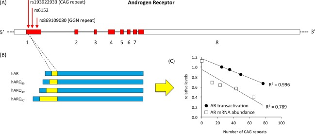 Polymorphisms in steroid receptors: From gene sequence to ... on