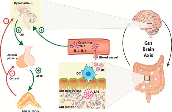 「gut–brain axis」的圖片搜尋結果
