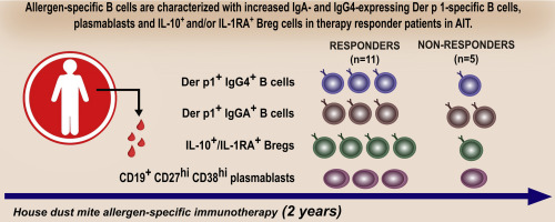 Role of Der p 1–specific B cells in immune tolerance during