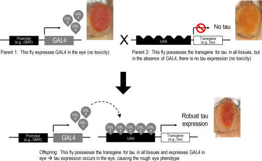 Transcription Factor GAL4 - an overview   ScienceDirect Topics
