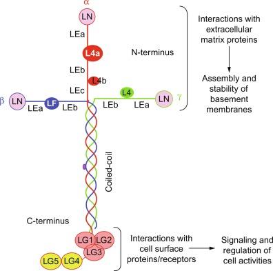 Laminin 111 - an overview   ScienceDirect Topics