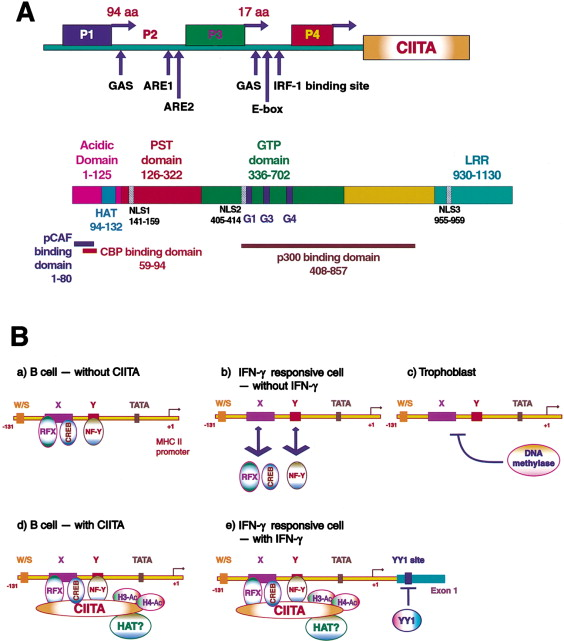 Genetic Control of MHC Class II Expression - ScienceDirect