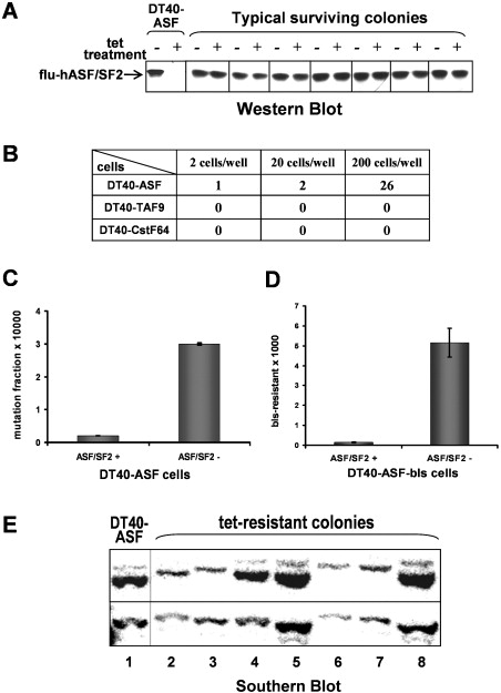 Inactivation of the SR Protein Splicing Factor ASF/SF2
