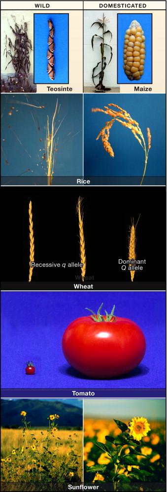 The Molecular Genetics of Crop Domestication - ScienceDirect
