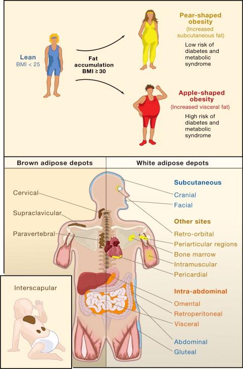 Developmental Origin Of Fat Tracking Obesity To Its Source