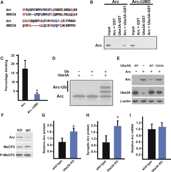 The Angelman Syndrome Protein Ube3A Regulates Synapse