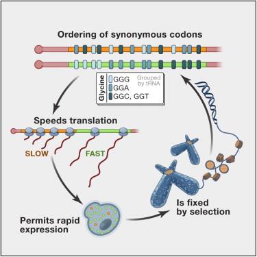 the wobble effect biology