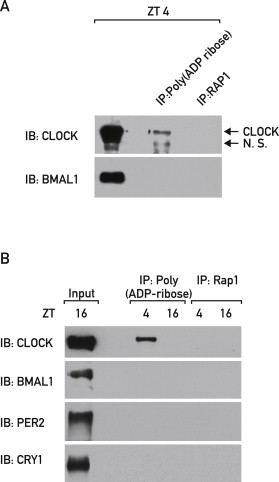 Poly(ADP-Ribose) Polymerase 1 Participates in the Phase
