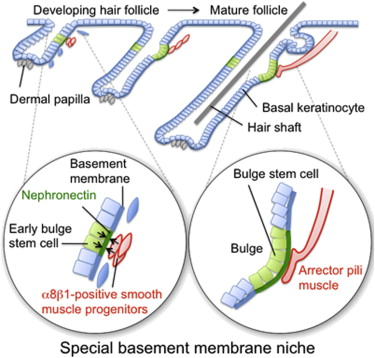 The Basement Membrane Of Hair Follicle Stem Cells Is A Muscle Cell
