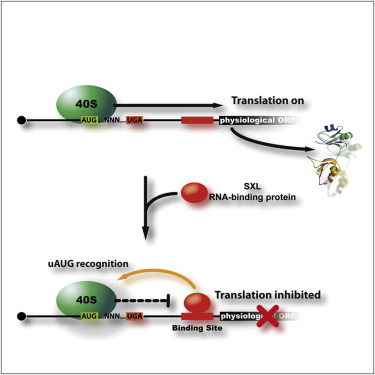 Translational Control via Protein-Regulated Upstream Open Reading ...