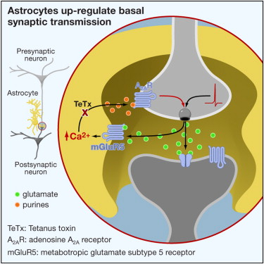Astrocytes Are Endogenous Regulators Of Basal Transmission At