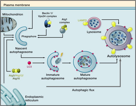 Autophagy and Aging - ScienceDirect