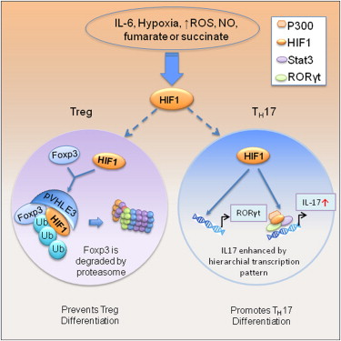 Control Of Th17treg Balance By Hypoxia Inducible Factor 1
