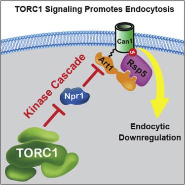 Torc1 Regulates Endocytosis Via Npr1 Mediated Phosphoinhibition Of A