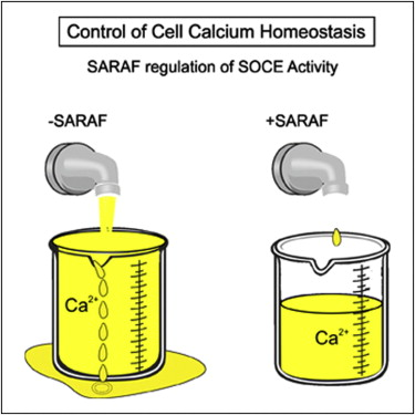 Saraf Inactivates The Store Operated Calcium Entry Machinery To Prevent Excess Calcium Refilling Sciencedirect