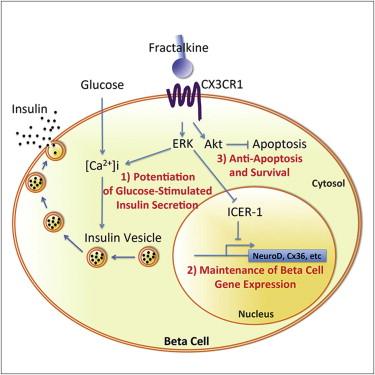 diabetes mellitus fractalkine