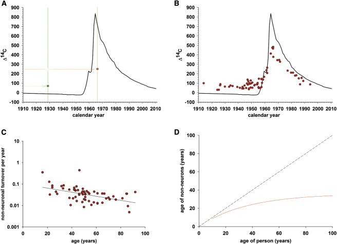 Retrospective birth dating of cells in humans