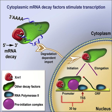 Gene Expression Is Circular: Factors for mRNA Degradation Also